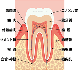 img_tooth_structure_l.png